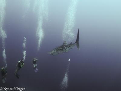 Whale Shark at Tubbataha