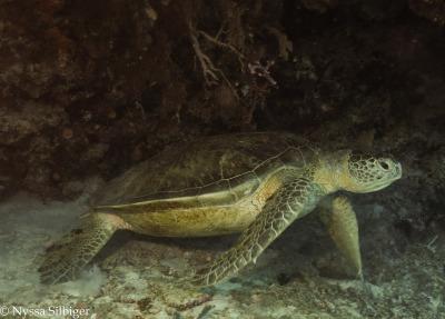Sea turtle at Tubbataha