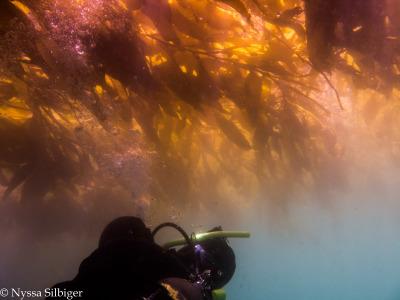 Diver under Macrocystis