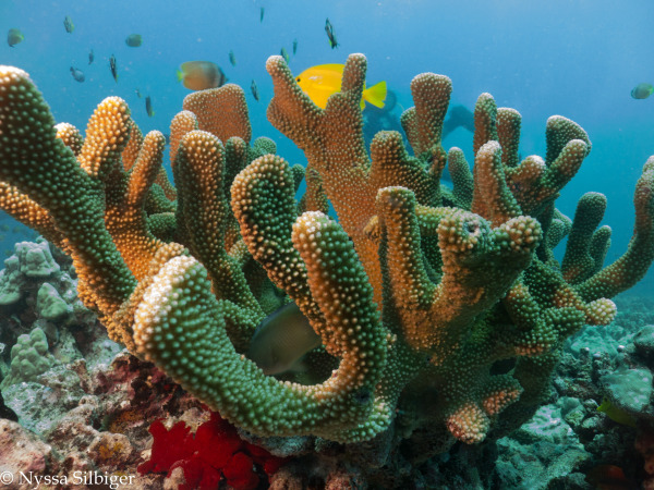 Nutrient pollution disrupts key ecosystem functions on coral reefs
