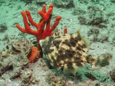 Filefish and sponge at Gray's Reef National Marine Sanctuary