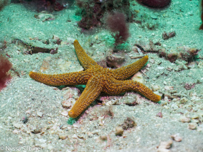 Seastar at Gray's Reef National Marine Sanctuary