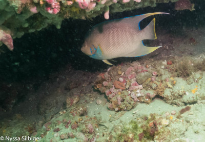 Angelfish at Gray's Reef National Marine Sanctuary