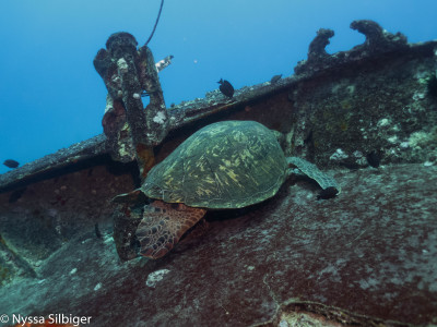 Green sea turtle on YO-257