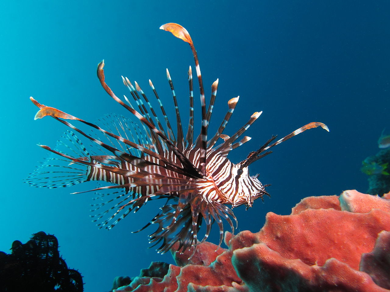 New study reveals no measurable effect of lionfish on native prey fish in Belize