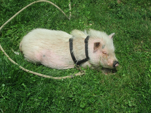 Miss Piggy - Pot Belly Pig at the Farm Petting Zoo