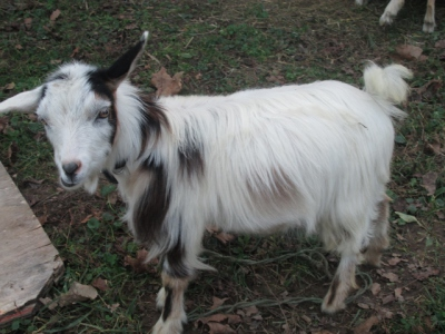 """""""Mini"""" A Silky Fainting Goat"""