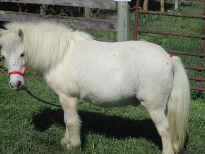 """Jojo"" Miniature horse"