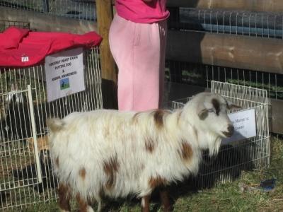 """""""Izzy"""" Silky Fainting Goat"""
