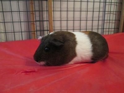 """""""Cameo""""  Guinea Pig"""