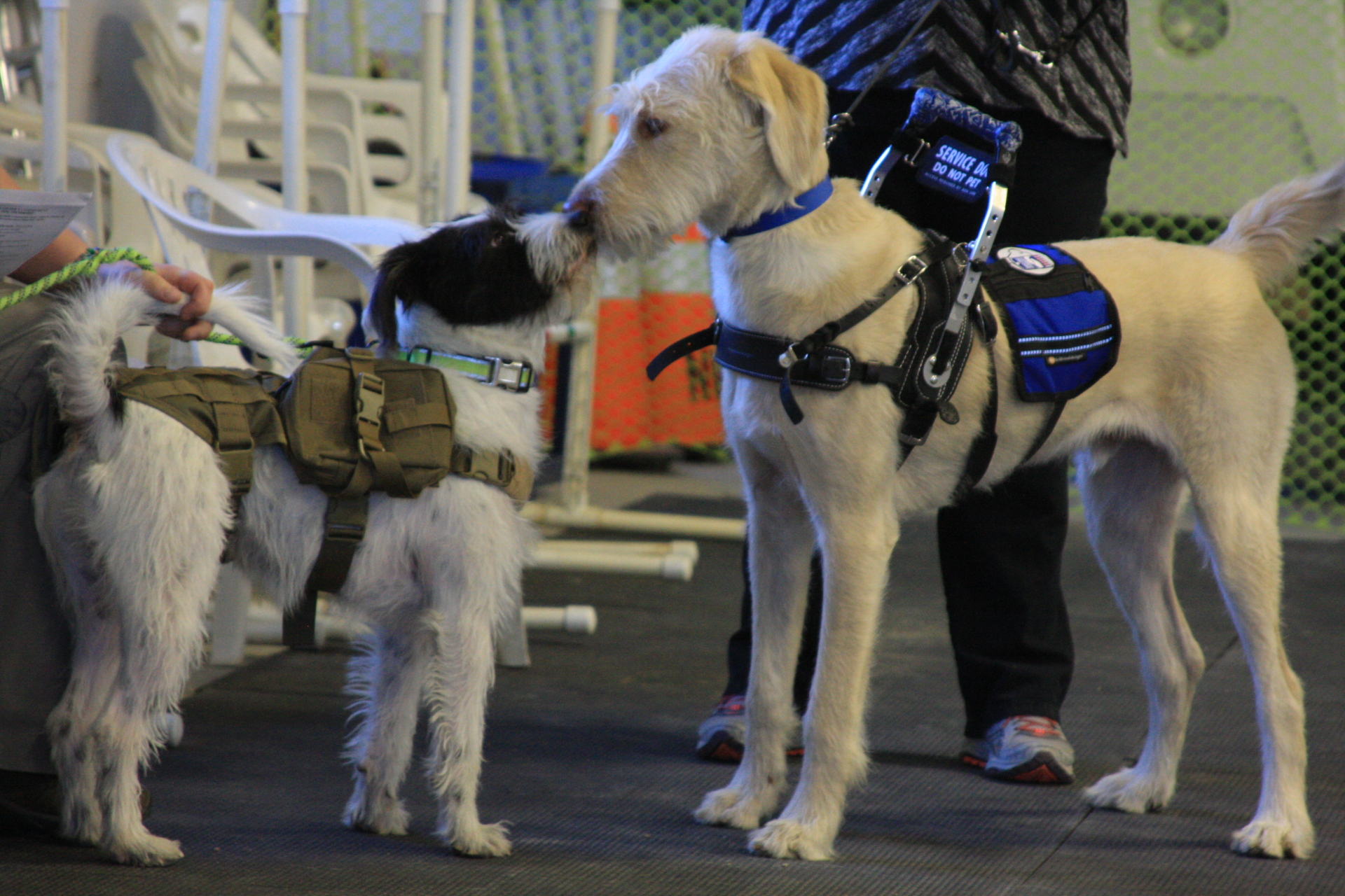 Murphy, an emotional support animal, and Leo, a service dog in training, greet each other