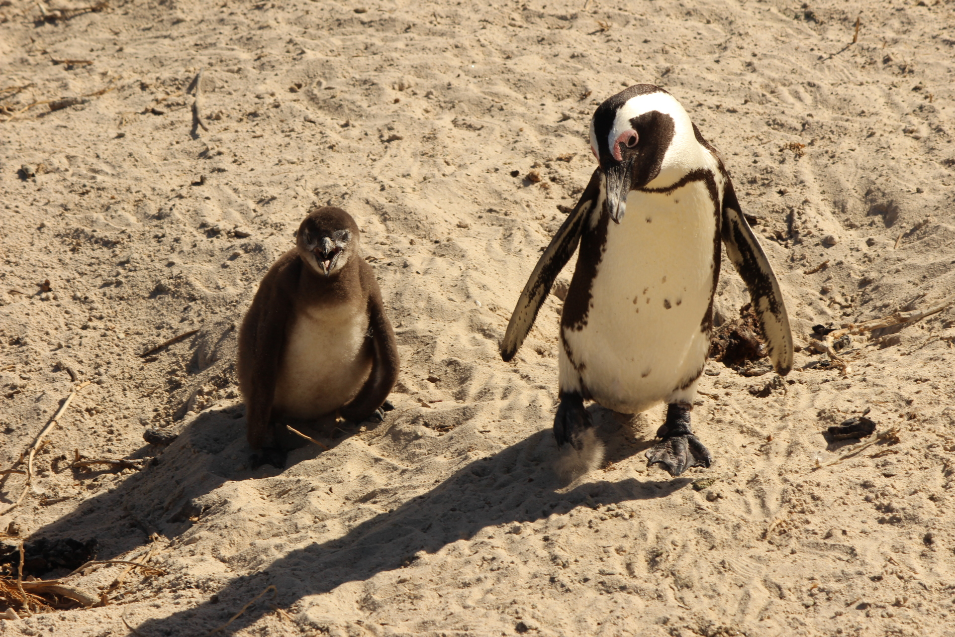2018 South Africa Trip, Part 13: Boulders Beach Penguins