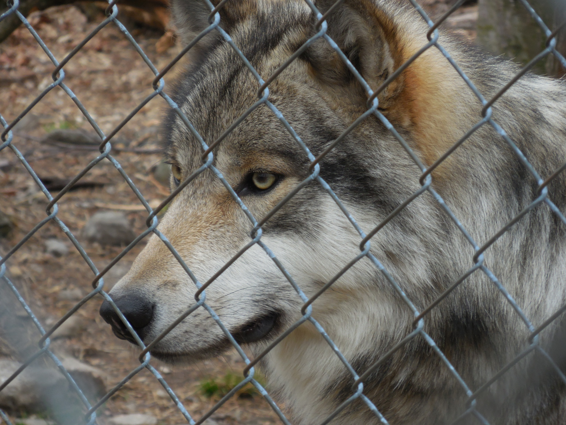The wolves of the Lakota Preserve : Caring for the wild
