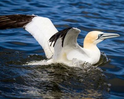 The Northern Gannets of Great Kills marina