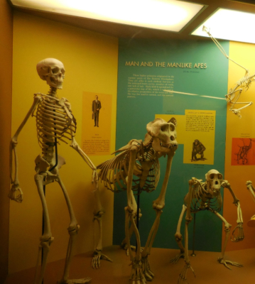 Our Representative in DC : Bones and Skeletons at the Smithsonian Museum of Natural History