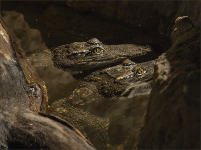 Crocodiles:  Ancient Predators in a Modern World opens at the American Museum of Natural History