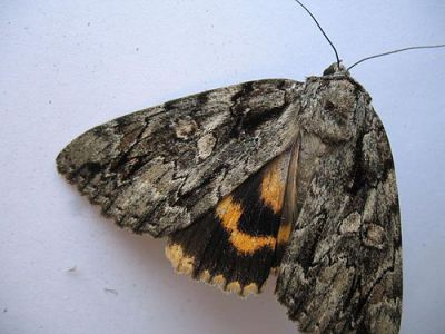 National Moth Week highlights the beauty of the underwing
