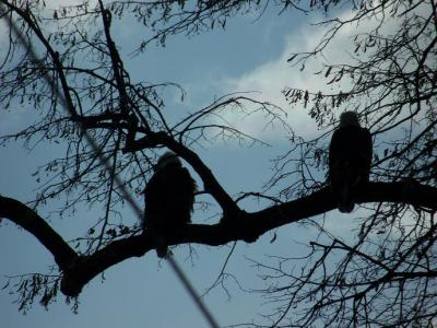Eagles in the neighbors Tree – 2013
