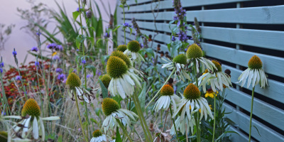 Photo of Echinacea 'White Swan' against a slatted fence panel