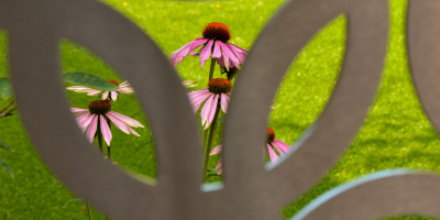 Photo of Echinacea viewed through the balustrade