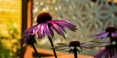 Photo of Echinacea purpurea plant against a stainless steel screen