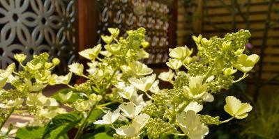 Photo of Hydrangea paniculata 'Magical White Lady'
