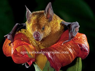 """""""Nectar""""Bat"""