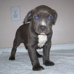 Blue Puppy Pitbull