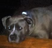 pit bull resting