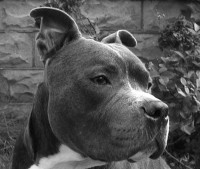 Pack Of Pitts Kennels APBT