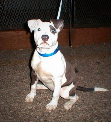 Blue Pitbull Puppy Patch Eye