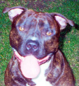 chocolate male pitbull