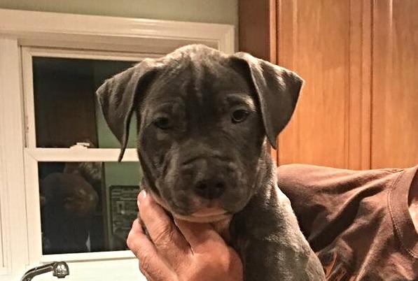 Blue Pit Bull Puppy Litter 2016