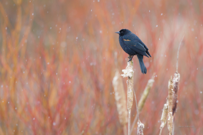 Blackbird in Spring snowfall