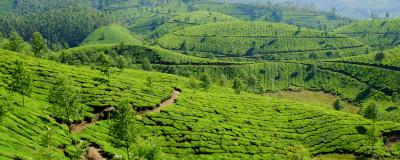 Tea, Munnar India