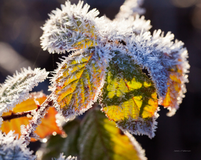frost  on Blackberry