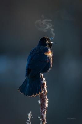 Singing Red Winged Blackbird