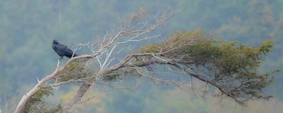 Island View Beach Raven