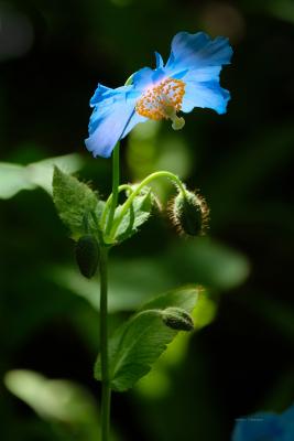 Blue Poppie