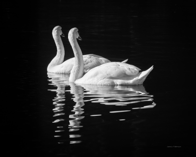 Swans in tune