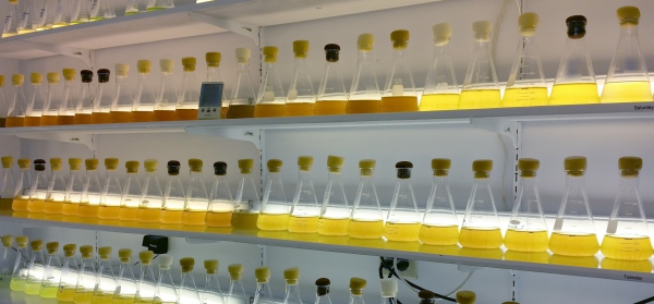 Flasks of micro algae