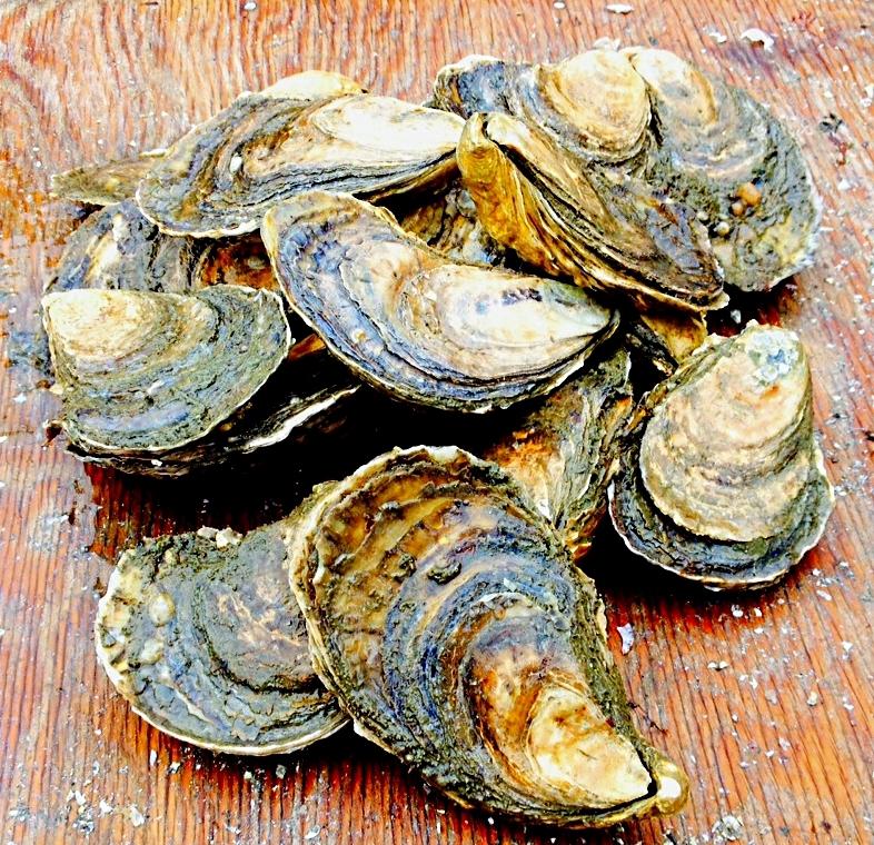 Maine Oyster Farm - Pemaquid Oyster