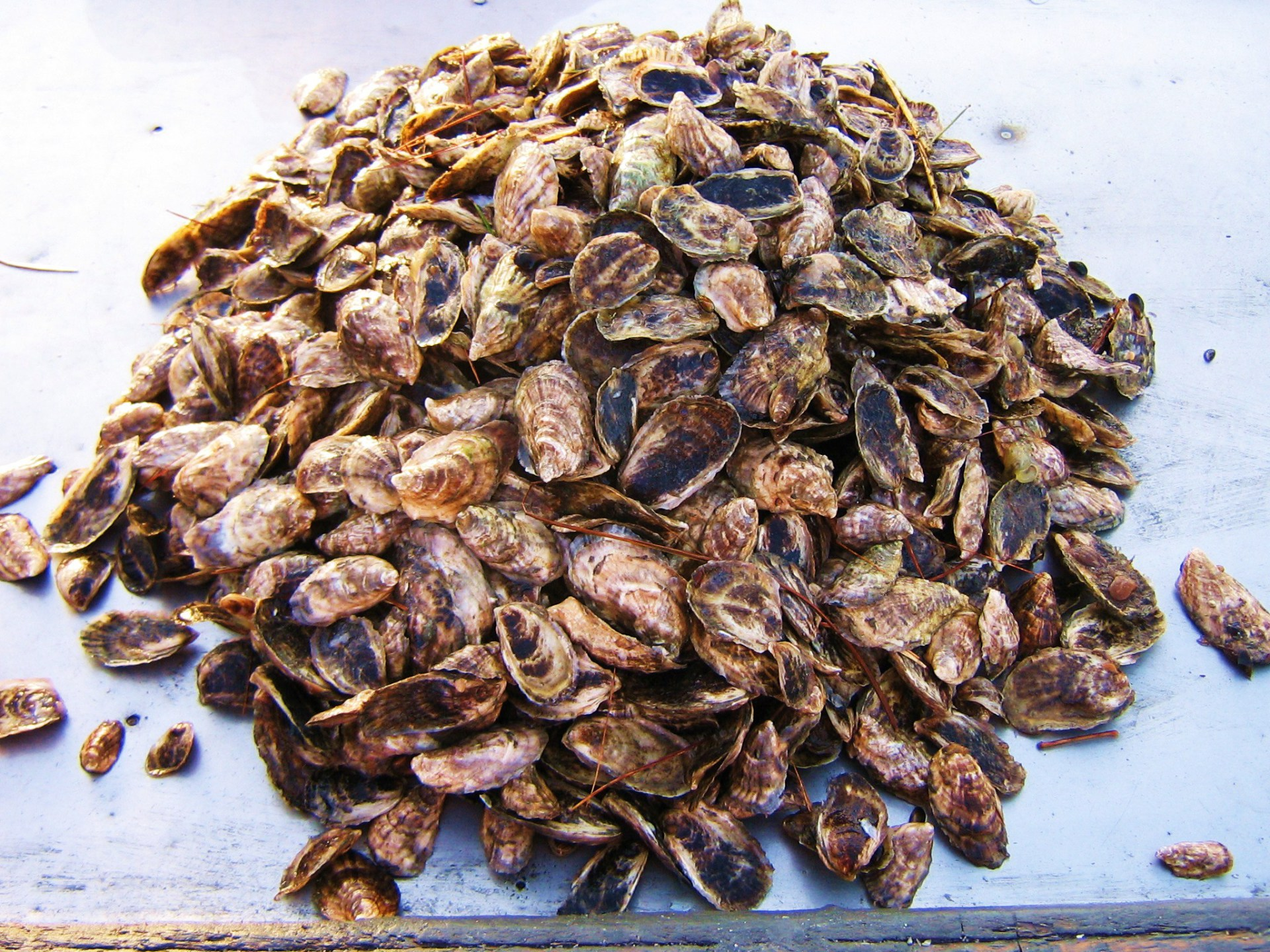 Maine Oyster Seed