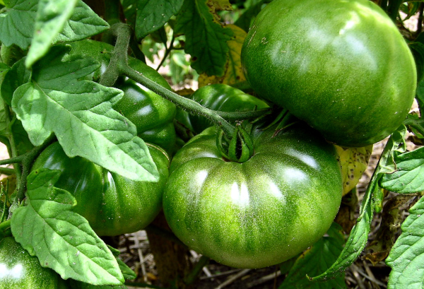 Heirloom tomatoes ripening on the vien