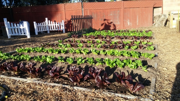 Restauration's Lettuce Beds