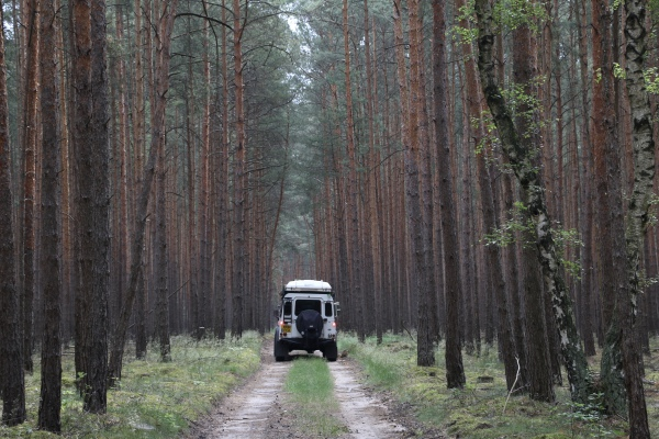 Pine wood forest in Germany