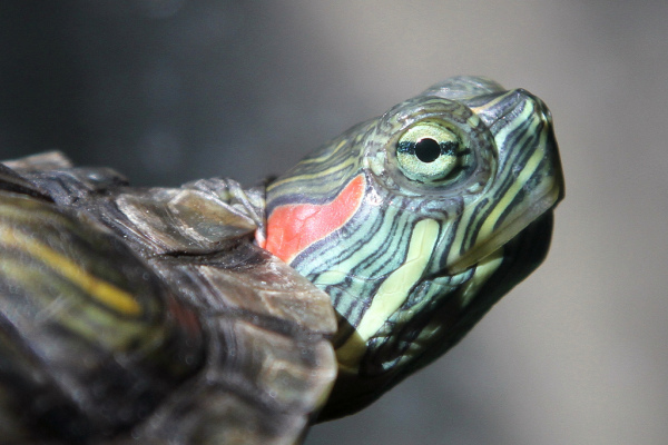 Damnation of the Red Eared Slider