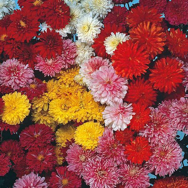Chrysanthemum, Fanfair