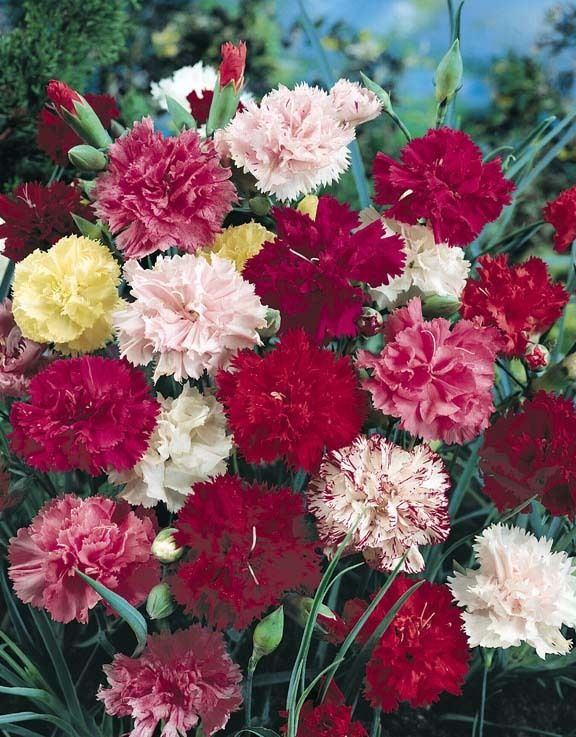Dianthus, Grenadin Mix