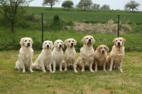 Golden retrievers at Guisachan Gathring